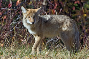 coyote_5054np
